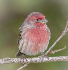 Male House Finch (tresed47) Tags: 2017 201711nov 20171110chestercountybirds birds canon7d chestercounty content fall finch folder home housefinch november pennsylvania peterscamera petersphotos places season takenby us ngc