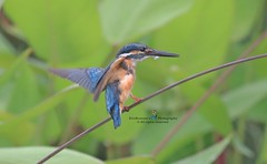 6F8A7312  Common Kingfisher (EricBronson's Photography) Tags: commonkingfisher naturebird