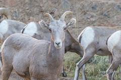 Posing Bighorn Sheep ewe
