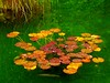 Fall Lily Pads with Lurkers (Dan Daniels) Tags: lillypads waterlilies ponds water fish switzerland cantonberne autumn autumnleaves