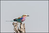 Lilac-breasted Roller (John R Chandler) Tags: animal bird coraciascaudatus hwangenationalpark lilacbreastedroller matabelelandnorthprovince roller zimbabwe zw