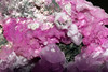 dolomite var. cobatoan dolomite, calcite var. cobaltoan calcite (géry60) Tags: bouazereastdeposit bouazer bouazerdistrictbouazzerdistrict tazenakht ouarzazateprovince soussmassadraâregion morocco dolomitecobaltoandolomite cobaltoancalcite