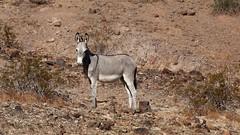 donkey2 (jeffcuneo) Tags: parker arizona needles california desertgeology southwestunitedstates southwestgeology wild burros donkeys
