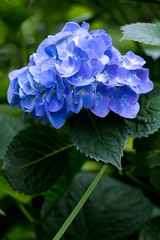 Hydrangea (sal tinoco) Tags: hydrangea flower fantasticflower flowers flora floral field plant pollen park petal