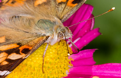 Last Sips of Mum Nectar (tresed47) Tags: 2017 201711nov 20171104homemacro butterflies canon7d chestercounty content fall folder home insects macro november paintedlady pennsylvania peterscamera petersphotos places season takenby technical us
