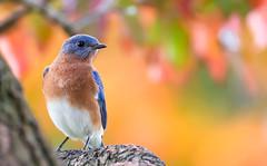 Bluebird (male) (tkclip47) Tags: bluebird autumn fall colors bokeh perch dogwood male lucky ngc sunrays5 coth5 specanimal fantasticnature coth npc