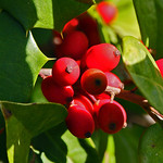 holly berries thumbnail