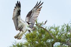 _NGR6038aguila-pescadora (ninograngetto@hotmail.com) Tags: aves rapaces eeuu florida argentina nikon d5 birds