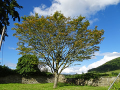 Deciduous tree in Stokesay (Dunnock_D) Tags: uk unitedkingdom britain england shropshire stokesay tree blue sky white clouds green grass