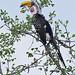 Eastern Yellow-billed Hornbill Tockus flavirostris