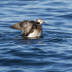 Havelle - Clangula hyemalis - Long-tailed duckD8G_0749 (Viggo Johansen) Tags: havelle clangulahyemalis longtailedduck female birds birdsinnorway