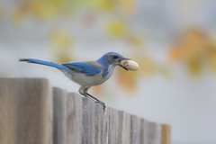 Steady...Steady (opheliosnaps) Tags: wild nature outdoors outdoor autumn fall colors color colorful blur bokeh yellow blue scrub jay aphelocoma californica santa rosa california sonoma county november 2017 perch feeding eating nut acorn uncropped handheld orange lines
