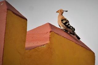 Wiedehopf - Fuerteventura, NGIDn1643093990