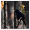 KUSA-8109 (Weinstöckle) Tags: vogel amsel enz gegenlicht