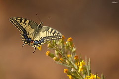 Papilio machaon (Dave 5533) Tags: papiliomachaon butterfly papilionidae israel insect bugs canoneos1dx ef300mmf28lisiiusm naturephotography canonextender2xiii outdoor animal macro nature wild butterflyinisrael specanimal coth alittlebeauty coth5 sunrays5
