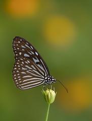 Blue glassy tiger on marigold bud (Robert-Ang) Tags: insect wildlife nature marigold bud blueglassytiger ideopsisvulgaris chinesegarden singapore