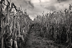 Tunnel Vision (drei88) Tags: anxiety apprehensive spirit fear primordial event dark shadow childhood irrational charged haunted bleak dreary lost windswept rustling cornfield rows light uncertainty fathom energy atmosphere rural desolation desolate eeire