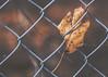 for dear life (rockinmonique) Tags: fence fall autumn leaf macro gold coppery moniquew canon canont6s tamron copyright2017moniquew
