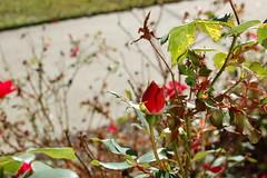 Rose Bud And Sidewalk. (dccradio) Tags: lumberton nc northcarolina robesoncounty outdoors outside morning goodmorning fall autumn harvest nikon d40 dslr redrose rose roses rosebush flower floral flowergarden flowerbed plant nature natural