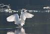 431.jpg (Kico Lopez) Tags: miño lugo spain galicia birds garcetagrande rio ardeaalba aves