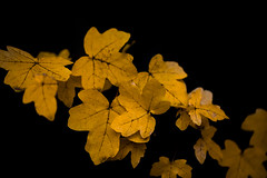 Yellow .. (Julie Greg) Tags: leafs nature yellow autumn