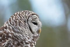 Barred Owl (Find The Apex) Tags: louisiana louisianarenaissancefestival barredowl owl bird