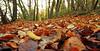 Leafy walk (AndrewTheCandid) Tags: woodland leaves autumn fall pathway path walk walking colours leaf trees ratseyeview landscape countryside somerset england uk unitedkingdom orange yellow