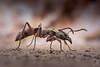 Neoponera villosa (PatHDTattoo) Tags: ant fourmi ponerinae neoponera villosa insect insecte