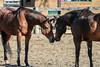 IMG_7298 (Tyler Ochs Photography) Tags: horses horse halter