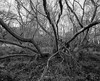Tree (Hyons Wood) (Jonathan Carr) Tags: tree abstract ancientwoodland rural northeast landscape abstraction monochrome black white bw largeformat 4x5 5x4