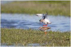 The mating of the Common Redshank - Paring van de Tureluur  (Tringa totanus) ... (Martha de Jong-Lantink) Tags: 2017 commonredshank fotohutweidevogels fotohutweidevogelsmarken marken matingdance nl nederland noordholland paringsdans tringatotanus tureluur vogel vogels weidevogel weidevogels