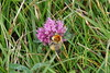 Bee in action (Steenjep) Tags: ferring bovbjergfyr vesterhav northsea fyr fyrtårn lighthouse bi hummelbi bee kløver clover closeup