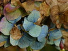 Hydrangea in November (joeke pieters) Tags: 1370389 panasonicdmcfz150 hortensia hydrangea bloem flower november platinumheartaward