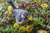 Blue Tit (Cyanistes caeruleus), juvenile-0188 (Stein Arne Jensen) Tags: alitoaigaccet bird blaumeise bluetit blåmeis buskerud canonef100400f4556lisusm canoneos70d chapimazul cyanistescaeruleus europa europe fugl herrerillocomún kongsberg kongsgårdmoen mésangebleue norway pajaro scandinavia sperlingsvögel spurvefugler steinarnejensen vogel avescanoras inmygarden lintu oiseau passereaux passeriformes passerines perchingbirds pájaros singvögel songbirds европа лазоревка птица أوروبا العصفوريات यूरोप アオガラ スズメ目 ヨーロッパ 歐洲 雀形目 青山雀 鳥 鸟 유럽