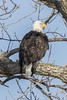 BALD EAGLE (nsxbirder) Tags: adult baldeagle indiana whitewaterriver brookville franklincounty male