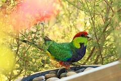 Redcapped Parrot (SUSETOZER) Tags: redcap parrot parakeet bird nature kingparrot pileatedparakeet westernaustralian dof perth westernaustralia