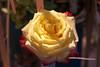 Temps de flors_0134 (Joanbrebo) Tags: girona catalunya españa es tempsdeflors tempsdeflors2017 canoneos80d eosd efs1018mmf4556isstm autofocus flors flores flowers fleur fiori blumen blossom rosesforeveryone macroelsalvador mixofflowers greatphotographers