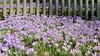Frühlingsboten, 10.3.17 (ritsch48) Tags: basel wasserturmpromenade krokus frühling