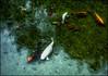 Gone fishin' - 2016 (Patricia Colleen) Tags: koi pond maui hawaii kulagardens