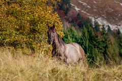 Dans les Bauges .... (gerardcarron) Tags: canon80d nature savoie animaux automne