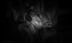 Existences.... (Pilouchy) Tags: existences animal wolf free baby eyes amour regard chemin lumiere calme wild monochrome bellissima petit life vie story histoire wood