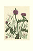 Thistle (Japanese Flower and Bird Art) Tags: flower thistle cirsium asteraceae sumio kawakami modern sosaku woodblock print japan japanese art readercollection