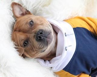 **Meet @arnoldstaffzenegger, a Patient and Strong Pup from... http://ift.tt/2BTgC4z