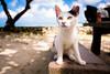 thrivers on islands #115 (Taketomi Island, Okinawa) (Marser) Tags: xt10 fuji raw lightroom japan okinawa taketomi cat sea sky fineweather 沖縄 竹富島 猫 貓 海