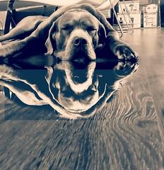 Sleeping beauty #canecorso #canecorsomania #bigdog #pies #sonyalpha (ma4werner) Tags: canecorso canecorsomania bigdog pies sonyalpha