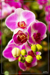 IMG_4705 (jlpvina) Tags: leo vina photography canon eos 7d baguio philippines flowers nature