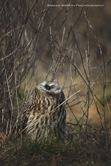 Short Eared Owl (ArmanWerthPhotography) Tags: armanwerthphotography shortearedowl stanwoodwa