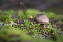 mckenzie_river_mushroom1 (andersjea) Tags: oregon bokeh nikond7200 macro pacificnorthwest landscape nature mushroom fungi