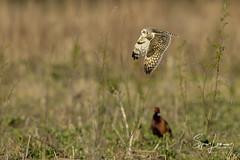 Velduil-20185 (Sjors loomans) Tags: bird birds prey nature natuur natuurfotografie outdoor owl owls roofvogels short eared velduil vogel wildlife sjors loomans holland
