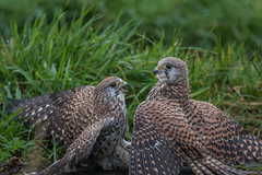 R17_2255 (ronald groenendijk) Tags: cronaldgroenendijk 2017 falcotinnunculus rgflickrrg animal bird birds birdsofprey groenendijk holland kestrel nature natuur natuurfotografie netherlands outdoor ronaldgroenendijk roofvogels torenvalk vogel vogels wildlife